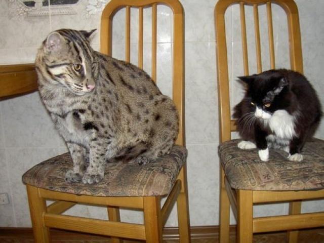 Кота первого в домашних условиях 427