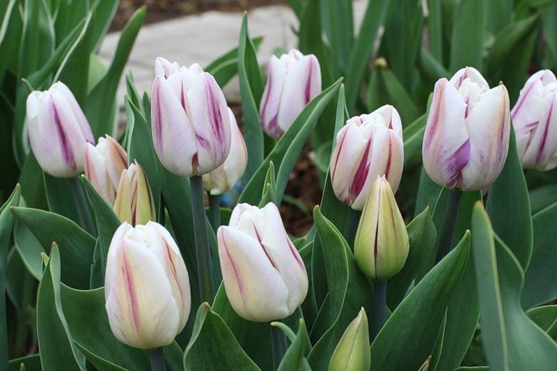 Все виды тюльпанов фото