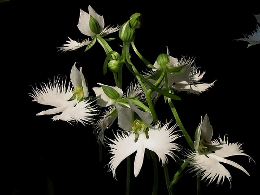 орхидея белая цапля фото белая пластиковая