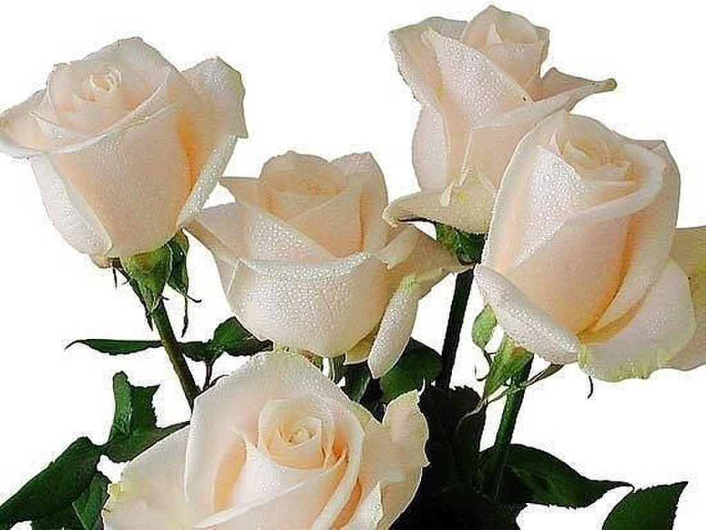 с днем рождения любимая картинки белые розы турции
