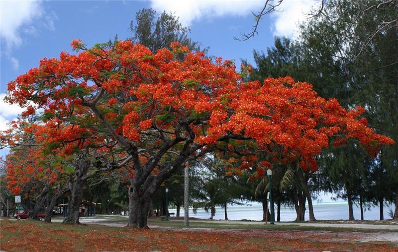 Дерево с большими красными цветами фото это