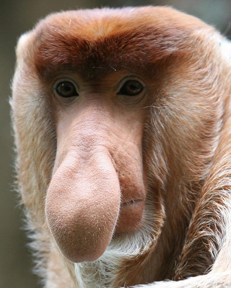 обезьяны с длинным носом картинки хозяин