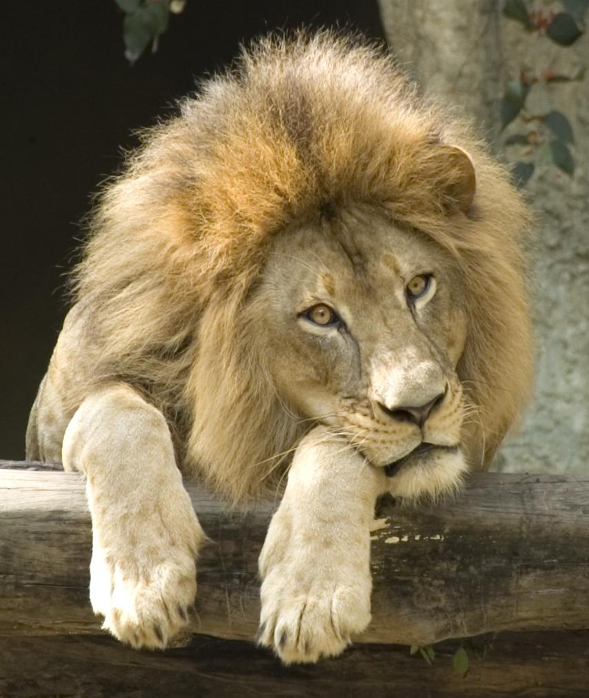 Открытку, прикольные картинки львов с надписями