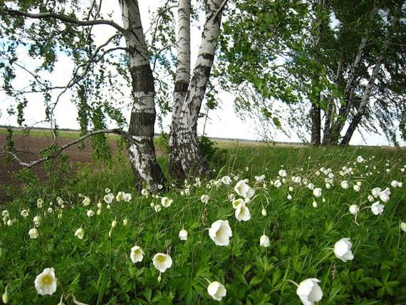 Картинки по запросу берёзка, «что во поле, под ветром склоняясь, растёт»,фото
